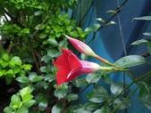夾竹桃科植物  :紅蟬花