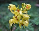 蘭科植物:黃花鶴頂蘭