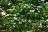 薔薇科植物:台灣石楠
