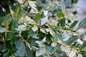 柿樹科植物:菱葉柿