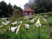 百合花與孤挺花:台灣百合