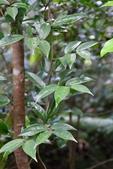 清風藤科植物:台灣清風藤