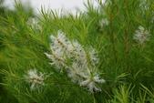 桃金孃科植物:澳洲茶樹