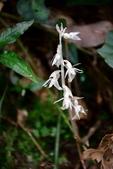 蘭科植物:泛亞上鬚蘭