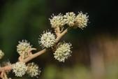 五加科植物:通脫木(蓪草)