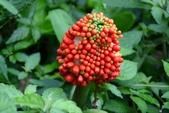 天南星科植物:申跋(由跋)
