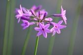 石蒜科植物:紫嬌花...石蒜科