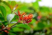 茜草科植物:醉嬌花