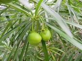 迷人的果實... 5:黃花夾竹桃