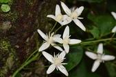 毛茛科植物:麥氏鐵線蓮