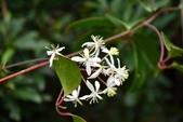 毛茛科植物:厚葉鐵線蓮