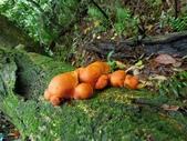 野生菇:軟靴耳菇