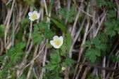 毛茛科植物:匍枝銀蓮花
