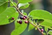 鼠李科植物:桶鉤藤