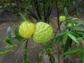 夾竹桃科植物  :釘頭果(唐棉)