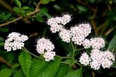薔薇科植物:台灣繡線菊