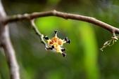 金縷梅科植物:秀柱花