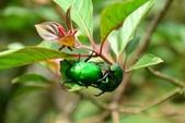 昆蟲篇...4:綠金龜