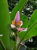 蕉科植物:紫夢幻蕉