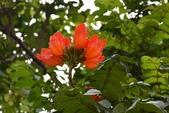 紫葳科植物:火焰木