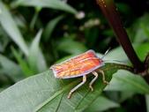 昆蟲篇...4:荔枝椿象