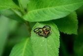 昆蟲篇...4:眼紋廣翅蠟蟬