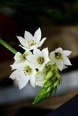 白雲花(天鵝絨):DSC_0210
