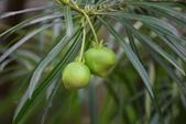 夾竹桃科植物  :黃花夾竹桃