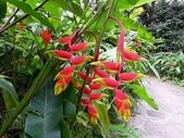 蕉科植物:金鳥赫蕉