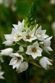 白雲花(天鵝絨):DSC_0213