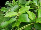 夾竹桃科植物  :絨毛芙蓉蘭