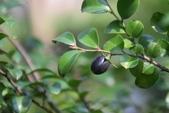 柿樹科植物:楓港柿