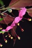 薑科植物...2:紅葉溫蒂舞薑