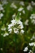 白雲花(天鵝絨):DSC_0221