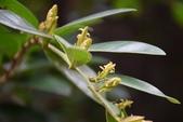 金縷梅科植物:蚊母樹