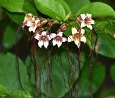 夾竹桃科植物  :垂絲金龍藤