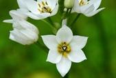白雲花(天鵝絨):DSC_0225