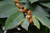 葉下株科植物:刺杜密