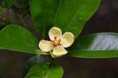 藤黃科植物:恆春福木