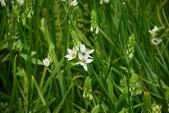 白雲花(天鵝絨):DSC_0230