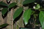 楊柳科植物 (大風子科植物併入 ):羅庚果