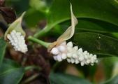 天南星科植物:珍珠花燭