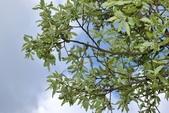 楊柳科植物 (大風子科植物併入 ):褐毛柳
