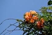 紫葳科植物:凌霄花