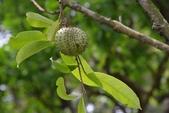 番荔枝科植物:山刺番荔枝