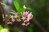 夾竹桃科植物  :粉色絡石