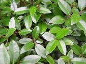 楊柳科植物 (大風子科植物併入 ):魯花樹