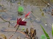 蜻蛉目:善變蜻蜓、猩紅蜻蜓(雄)