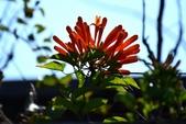 紫葳科植物:炮仗花