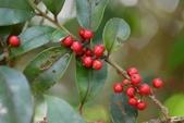 冬青科植物:密毛假黃楊 (密毛冬青)